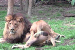 Leoa Faz De Tudo Para Acasalar Com Leão Que Insiste Em Ignorá-la 10