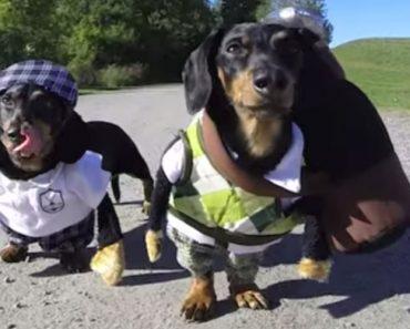Dupla De Cães Veste-Se a Rigor Para Divertido Jogo De Golfe 4