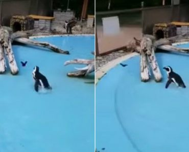 Pinguim Esforça-se Por Manter o Equilíbrio Enquanto Corre Atrás De Esvoaçante Borboleta 5