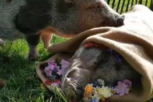 Video Comovente Mostra Momento Em Que Porco Se Despede Do Seu Amigo Após Passarem 13 Anos Juntos 10