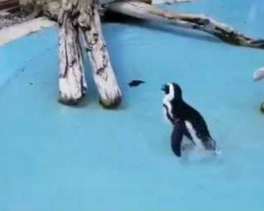 Pinguim Faz De Tudo Para Apanhar Borboleta Em Video Hilariante 6