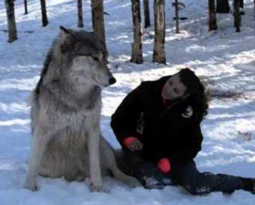 Lobos Comportam-se Como Autênticos Cãezinhos Ao Verem Tratadora 1
