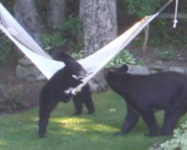 Ursos Bebés Invadem Jardim Residencial Para Brincar Em Cama De Rede 6