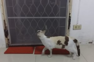 Inteligente Gato Descobre Maneira Original Para Sair De Casa 10