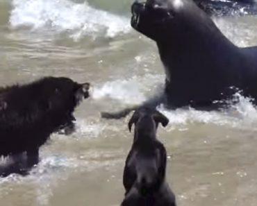 Leões-marinhos Recebem Visita Inesperada De Cães Que Insistem Em Entrar Na Água 9