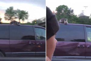 Gato Assustado Filmado Em Cima De Carrinha a 100 Km/h Numa Auto-Estrada 5