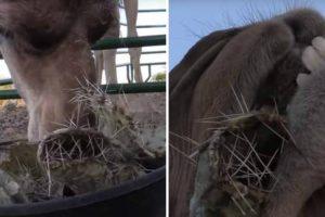 Camelos Mastigam Catos Cheios De Picos Como Se Fosse Manteiga 10