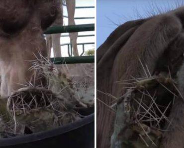 Camelos Mastigam Catos Cheios De Picos Como Se Fosse Manteiga 4