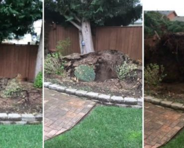 Vídeo Impressionante Mostra Como o Vento Consegue Arrancar Enorme Árvore Pela Raiz 8
