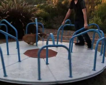 Cão Adora Andar No Carrossel De Parque Infantil 6