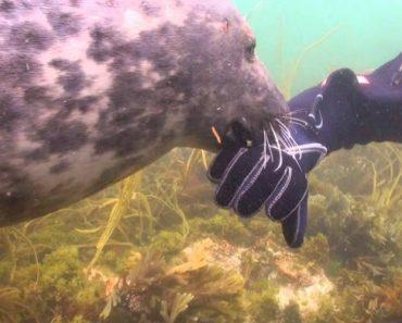 Mergulhador Surpreendido Por Foca Que Adora Festas Na Barriga 8