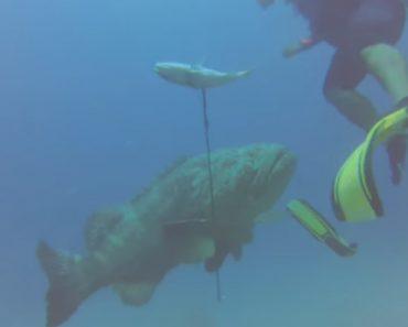 Garoupa Gigante Rouba Peixe e Arpão e Ainda Consegue Descalçar Mergulhador 4
