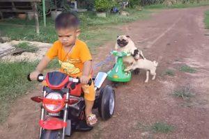 Cãozinho Fica Zangado Por Não Conseguir Voltar Para Cima De Triciclo Puxado Pelo Seu Pequeno Dono 10