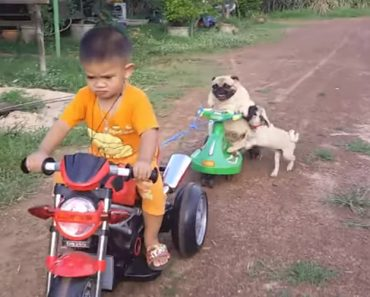 Cãozinho Fica Zangado Por Não Conseguir Voltar Para Cima De Triciclo Puxado Pelo Seu Pequeno Dono 8