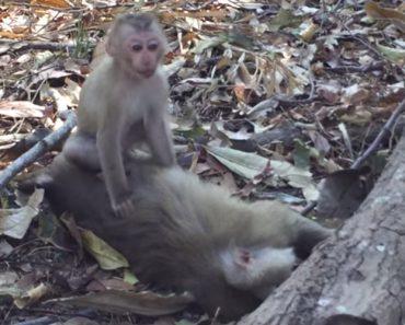 Pequeno Macaco Não Consegue Abandonar a Sua Mãe Que Faleceu 7