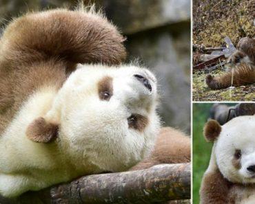 Conheça Qizai, o Único Panda Castanho e Branco Do Mundo 3