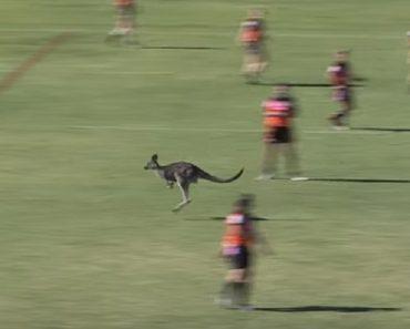 Jogadores De Rugby Forçados a Interromper Jogo Para Dar Passagem a Veloz Canguru 3