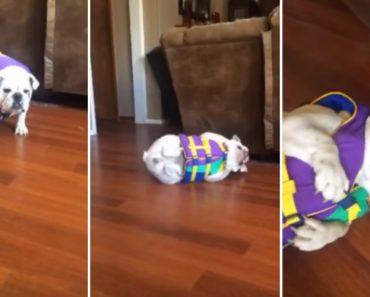 Adorável Bulldog Detesta Quando Tem De Vestir o Colete Salva Vidas 3