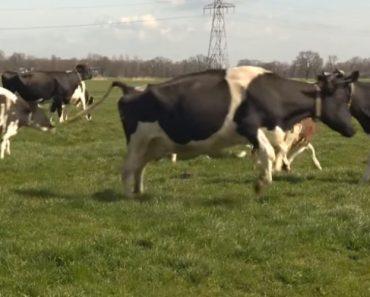 Vacas Saltam De Alegria Por Verem Erva Pela Primeira Vez Após Estarem 6 Meses Fechadas 7