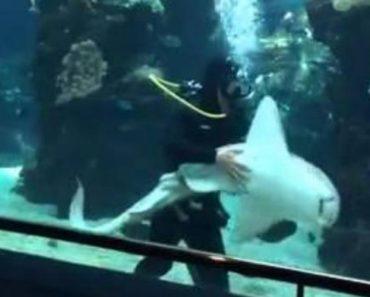 Amigável Tubarão Aproxima-se De Mergulhador Que Limpava Aquário Para Receber Mimos 8