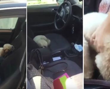 Cãozinho Gosta Tanto De Estar No Carro Que Usa Uma Estratégia Para Não Ter De Sair 4