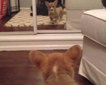 Cãozinho Fica Desconfiado Ao Ver o Seu Reflexo No Espelho Pela Primeira Vez 2