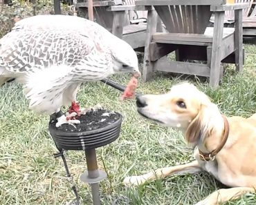 Amigável Falcão Partilha Refeição Com Paciente Cão 4