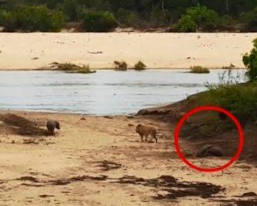 Hipopótamo Bebé Enfrenta Leão Para Proteger a Mãe 2
