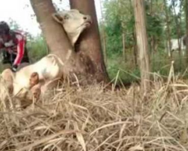 Dupla De Ciclistas Une Esforços Para Salvar Vaca Que Ficou Com a Cabeça Presa Numa Árvore 5