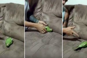 Encantador Papagaio Finge-se De Morto Enquanto Brinca Com o Seu Dono 5