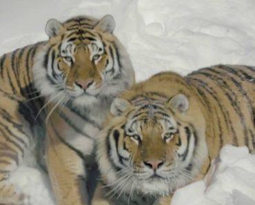 Drone Capta a Incrível Beleza De Três Curiosos Tigres 3