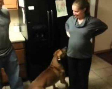 Protetor Cão Não Permite Que Ninguém Toque Na Barriga Da Sua Dona Grávida 4