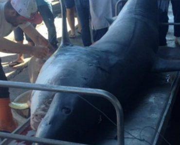 Tubarão Com Mais De Três Metros Capturado Por Pescadores Em Setúbal 8