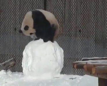 Encantador Panda Trava a Mais Desastrada Luta Com Um Boneco De Neve 24