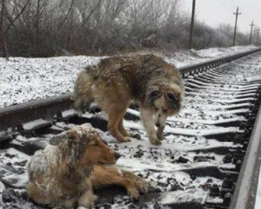 Adorável Cão Fica Dois dias Ao Lado De Cadela Ferida Na Linha Férrea Para a Proteger 9