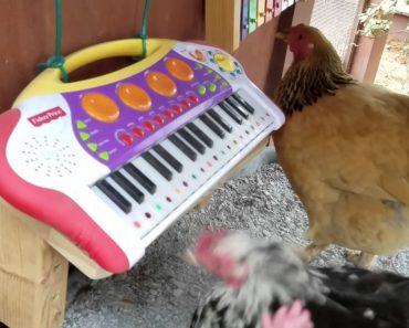 Galinhas Fazem Estreia Musical Depois De Formarem Banda 32