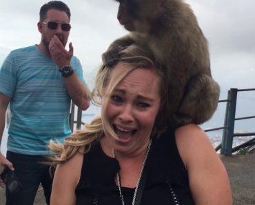 Os Macacos Sentiram-se Atraídos Por Esta Turista, Mas Ela Não Gostou Tanto Da Experiencia Quanto Eles 4