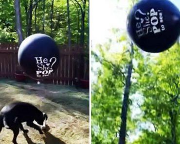 Donos Queriam Que Cão Rebentasse Balão Para Revelar Sexo Do Bebé, Mas Não Correu Como Planeado 6