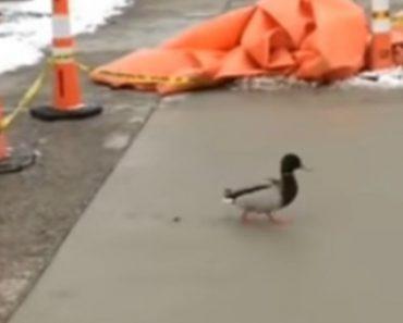 Funcionários Veem Trabalho Arruinado Quando Pato Decide Andar Por Cima Do Piso Cimentado De Fresco 2