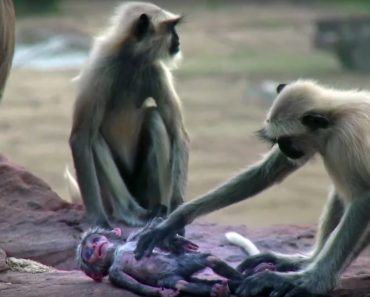 """Macacos Têm Emocionante Reação Ao Pensarem Que Macaco Robótico """"Morreu"""" 7"""