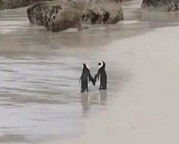 """Romântico Casal De Pinguins Passeia Na Praia De """"Mãos"""" Dadas 6"""