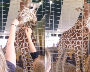 Porque Não Se Deve Tocar No Nariz De Uma Girafa 6