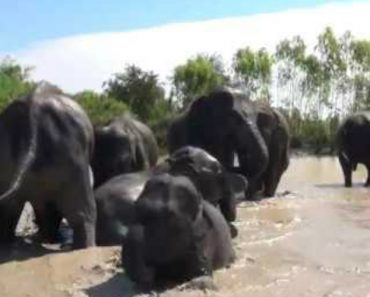 Elefantes Resgatados Experimentam a Liberdade De Um Banho No Rio Pela Primeira Vez Na Vida 6