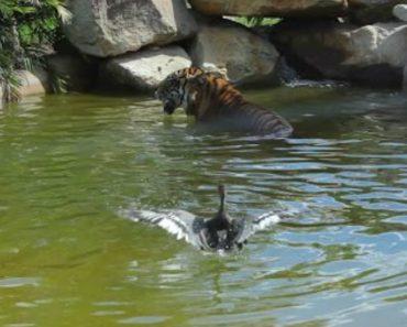 Corajoso Pato Entra Na Área Reservada a Felinos Para Humilhar Tigre 9
