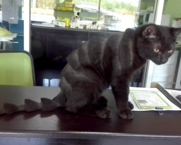 Pobre Gato Ganha Novo Visual Depois Visitar Salão De Beleza Para Animais 1