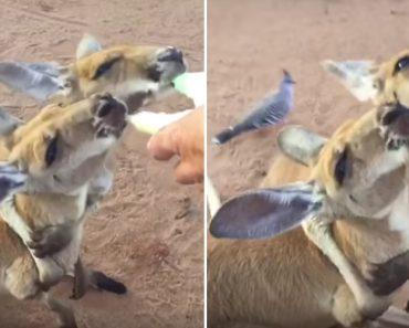 Canguru Bebé Abraça o Seu Inseparável Amigo Enquanto Bebem Os Biberões 1
