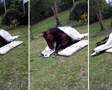 Quando Chega a Hora De Dormir, Este Inteligente Cavalo Sabe Exatamente o Que Tem De Fazer 9