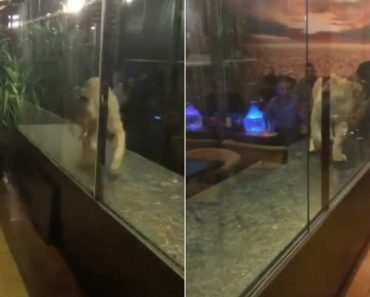 Prendem Leão Em Jaula De Vidro Num Restaurante Como Atração Turística 2