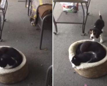 Sonolento Gato Tem o Susto Da Sua Vida De Ser Repentinamente Acordado Por Cão 6
