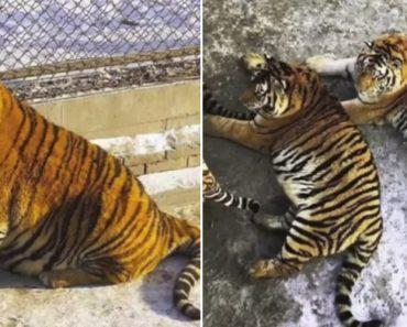 Imagens Captadas Em Jardim Zoológico Revelam o Excesso De Peso De Tigres e Leões 4